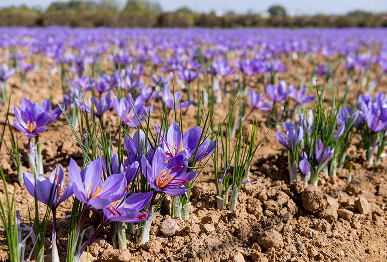Saffron is used as a food seasoning, in natural cosmetics, natural medicine and as a dye in the textile industry.